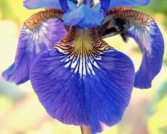 "Iris in the garden (luckyonthecliff, Kathy ""Cody"" Robinson) Tags: blue iris flower macro fabulous flowerpower flowerlovers theworldisbeautiful hitmewithyourbestshot gotblues afloweraday fantabulousfantasticflowers macroforbeginners planetearthflowers phoddastica nossasfloresourflowers"