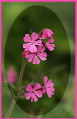 Red Campion (Mr Grimesdale) Tags: flowers nature wildlife olympus wildflowers britishwildlife e510 mrgrimsdale stevewallace britishwildflowers britishnature mrgrimesdale