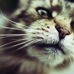 Attitude (koinis) Tags: macro eye closeup cat mouth john nose sigma whiskers getty 24mm 18 snout muzzle sqr koinberg koinis