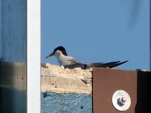 Least Tern on hotel roof