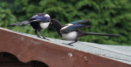 Adult Magpie Feeding a Juvenile