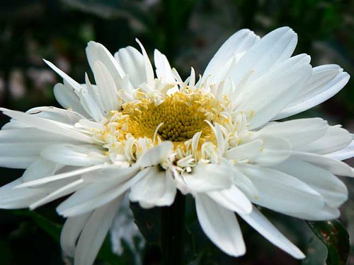 Highland White Dream daisy