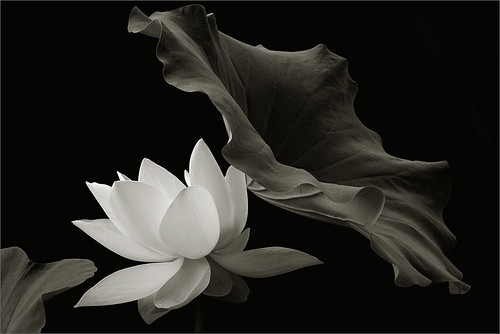 White lotus flower in black and white img 6827