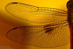 Wings of the Dragon (Pr@tim - Trying something new :)) Tags: insect wings dragonfly pratim biswas platinumphoto prtim