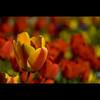 Red & yellow tulips (manganite) Tags: bonn northrhinewestphalia germany nikond200 18200mmf3556 f56 11500sec 11500secatf56 iso200 manganite geotagged geo:lon=7091342 geo:lat=5072482 date:year=2008 date:month=april date:day=20 black blossom bokeh botanischer garten carpel catchycolors closeup color colorful colors d200 digital dof dslr europe format:orientation=landscape format:ratio=32 frame framed highsaturation lightroom macro nikkor nikon nrw petals photoshop plant pollen red seasons spring stamina stigma stripes sunny tl vivid yellow