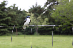 Purple Martin or Tree Swallow? (hannahlcampbell) Tags: veryfriendly isitapurplemartin oratreeswallow itsupervised asweinstalled amartinhouse inthesheeppen