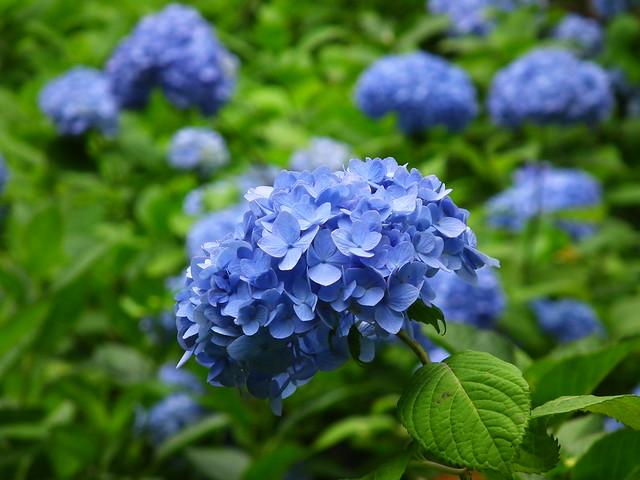 Meigetsuin blue