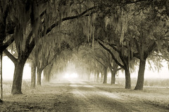 B&W Oak Avenue (Sco C. Hansen) Tags: bw sc oak spanishmoss d100 avenue hansen beaufort lowcountry beaufortcounty beaufortsc oldschooldigital aplusphoto beaufortphotography