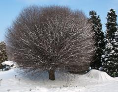 Hedgehog tree (Lensjoy) Tags: snow botanicalgardens wroclaw wrocaw ogrdbotaniczny lensjoy