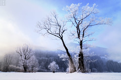 The Snows of Kilimanjaro (gregor H) Tags: winter mist snow tree landscape austria frost gettyimages hoar vorarlberg frastanz thesnowsofkilimanjaro frastanzerried