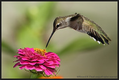Spider Included (HowardCheekPhotography.com) Tags: flowers nature gardens canon photography fly flying inflight texas cheek action spiders howard wildlife hummingbirds archilochus hummers alexandri