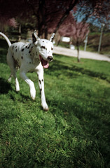 Manchas (Rai Robledo) Tags: madrid dog analog march lomo lca analgica perro fujifilm superia100 2009 marzo fotgrafo dlmata raiworld rairobledo canonscan4200f rairobledophotography rairobledofotografa wwwrairobledocom rairobledocom marzo2009 copyrightrairobledo fotgrafomadrid rairobledo fotografarairobledo rairobledofotgrafo