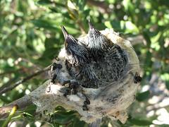 Hummingbird Babies in Their Nest