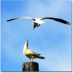 mine! mine! mine! (Grace Barus) Tags: birds addictedtoflickr dragondaggerphoto dragondaggeraward atomicaward
