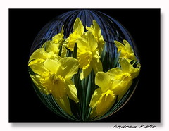 Daffodils #1 (Andrea Kollo Photography) Tags: flowers toronto ontario flower color nature colors yellow gardens garden countryside daffodil daffodils gardentour gardentours colorfulflowers naturephoto flowerphotography kingtownship blueribbonphotography colourfulflower andreakollo springhillphotography unforgettableflowers floralfantasia