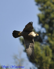 ADULT FEMALE PEREGRINE FALCON (spw6156) Tags: copyright female lens hand adult steve iso 400 falcon mm 500 held nationaltrust raptors waterhouse peregrine plymbridge cannquarry vosplusbellesphotos spw6156 stevewaterhouse plymperegrineproject plymbridgeperegrinefalcons copyrightstevewaterhouse
