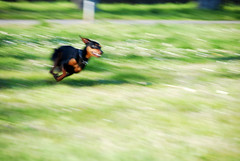Speed (Studio Neko) Tags: dog green grass cane speed garden happy freedom nikon go free run erba doggy speedy panning felice pinscher kiro velocit libero corsa libert pincher veloce rovigo d80 intentionalcameramovement
