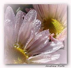 Morning Dew #2 (Andrea Kollo Photography) Tags: flowers toronto ontario flower macro gardens garden whiteflower dewdrops bokeh springflowers morningdew gardentour gardentours flowermacroism bej kingtownship brillianeyejewels natureiswonderful andreakollo springhillphotography allaboutflowers