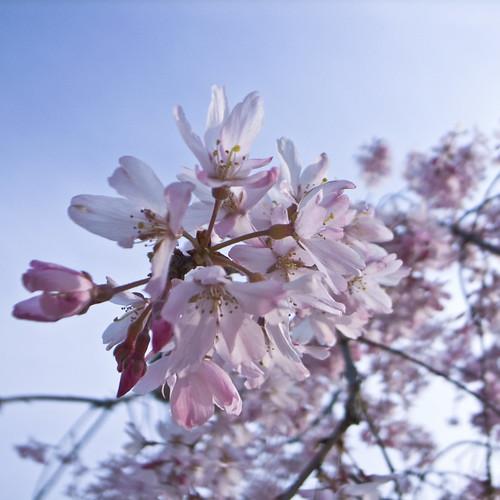 R0014821 : Sakura2009 #11