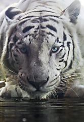 eye to eye (tropicaLiving - Jessy Eykendorp) Tags: wild portrait white water animal tiger endangered siberian eyetoeye ef70300mmf4056isusm canoneos50d tropicaliving vosplusbellesphotos jessyce
