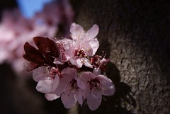 Flower Plum & Trunk