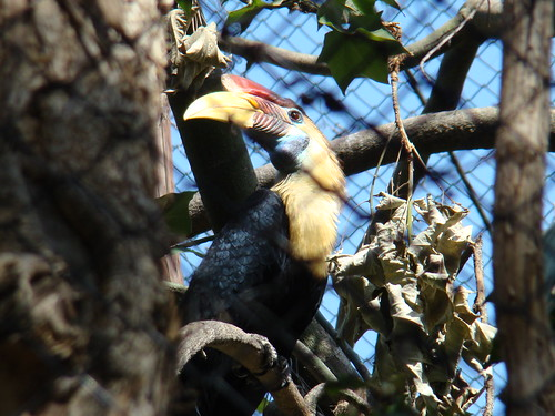 Red-knobbed Hornbill at the Los Angeles Zoo