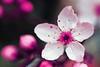 Spring in Bloom (Gigapic) Tags: flower spring interestingness9 hbw