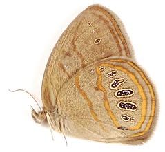 Neonympha areolatus
