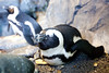 Monterey (51 of 74) (Valeri3408) Tags: cute bird penguin aquarium monterey sleeeping