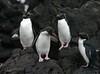 Rockhoppers (eserehtM) Tags: newzealand wild bird birds canon penguin penguins canon300d antarctica auckland rockhopper subantarctic aucklandisland wildpenguin