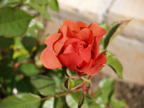 Cinco de Mayo rose