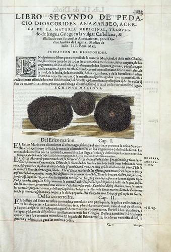 006a-El erizo marino- Pedacio Dioscorides Anazarbeo 1555