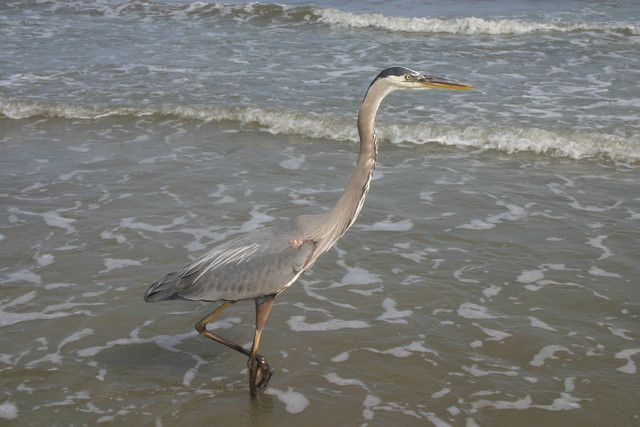 Great Blue Heron Taking a Walk