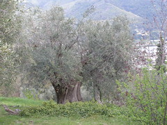 20090424 - Friday Olive Tree Blogging - 1