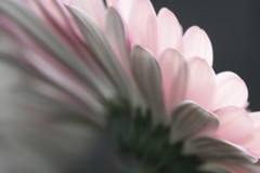 Radiate (Lollipop Daisy) (curious_spider) Tags: pink flower fan petals bokeh watermelon underside daisy huge fade radiate naturesfinest shotfrombeneath lollipopgerbera watermelonisthetypeofdaisy