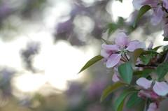 Adia (Ana Santos) Tags: flowers tree spring explore sarahmclachlan adia sooc anasantos anasantosphotography