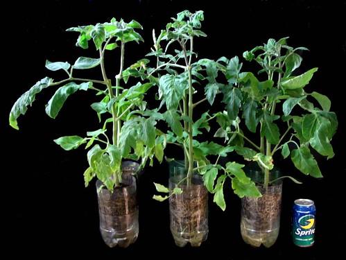 Heirloom Tomato Starter Plants in Week 6