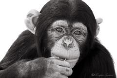 Deep In Thought (Megan Lorenz) Tags: noah blackandwhite nature animal closeup mammal looking chimp florida wildlife watching whitebackground chewing sarasota curious chimpanzee staring primate alert wildanimals vosplusbellesphotos bigcathabitatandgulfcoastsanctuary