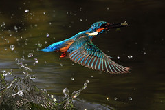 For dinner (Nature Wind (Eric)) Tags: bird nature nikon wildlife wing taiwan best kingfisher portfolio common avian mywinners ultimateshot avianexcellence theunforgettablepictures platinumheartaward 100commentgroup vosplusbellesphotos