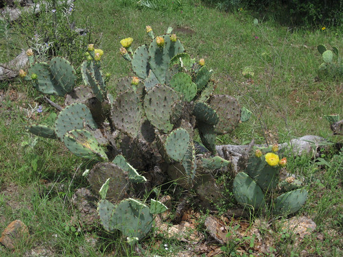 PricklyPear1
