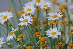 ~Daisies are like sunshine to the ground~ (nushuz) Tags: daisies bokeh happysaturday haveadaisyofaday shuzshotz daisiesarelikesunshinetotheground rainedsohardthattheguyswerebeatenup guessitaddscontrast yaytheweatherhascleared thepromistoday