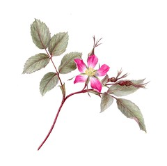 Rosa glauca (Sigrid Frensen) Tags: pink red flower rose drawing buds shrub colouredpencil botanicalart rosaglauca greyleaves botanicalrose