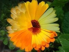 5 x Calendula Verschillende kleuren goudsbloemen - 5 different colors of calendula