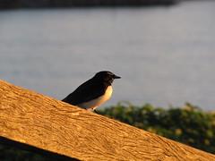 muttonbird (Stacey_Biscuit) Tags: harbour coffs