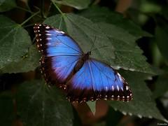 1010774 (Nemodus photos) Tags: butterfly papillon fz50 flickraward coloursofbutterflies