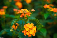 DSC_2292 (jasonlouphotography) Tags: flowers nature sunrise cameronhighlands sgpalas