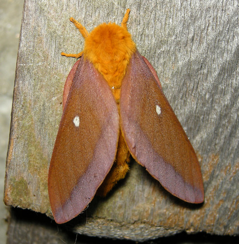 pink-striped oakworm moth (Anisota virginiensis)