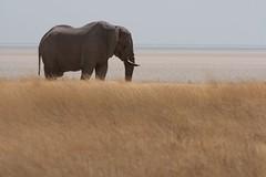 2009-08-24 Etosha 114 (blogmulo) Tags: africa park travel parque elephant fauna wildlife viajes national namibia nacional 2009 etosha elefante superaplus aplusphoto blogmulo