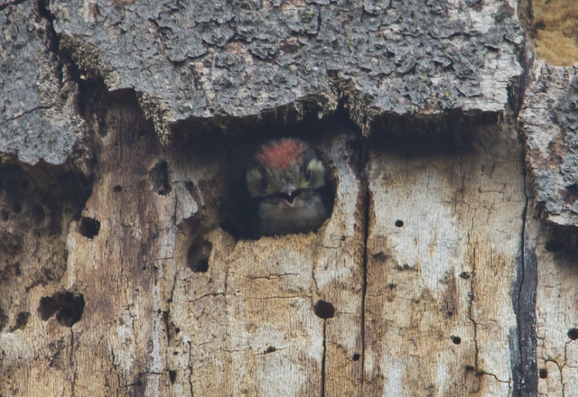 lesser spotted woodpecker chick