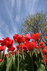 Red Tulips, Blue Sky (Karen_Chappell) Tags: park flowers blue red sky tree green nature floral newfoundland spring tulip nfld bannermanpark